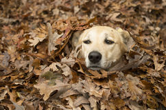 Darby in the leaves Royalty Free Stock Photo