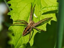 Darcier strange, Pisaura mirabilis, spider common,. Darcier strange, Pisaura mirabilis, spider, , spider common, spider species from the family of Stock Photos