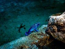 Dard toxique bleu Froq images libres de droits