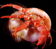 Dardanus arrossor hermit crab. Bernardo hermit crab dardanus crustacean night dive with shel ischia island Stock Photo