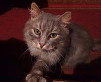 Dare il gatto della zampa fotografia stock