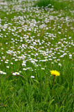 Dare to be different. A yellow flower sticks out of the mass of white flowers stock photo