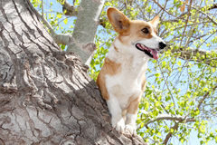 Dare to be Different. Concept dare to be different image of a welsh corgi dog standing in a tree to get a good viewpoint Stock Photo