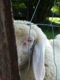 Dare una occhiata all'agnello Fotografia Stock Libera da Diritti