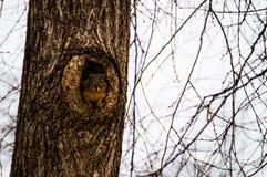 Dare una occhiata allo scoiattolo Fotografia Stock
