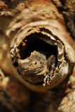Dare una occhiata dell'iguana si dirige fuori dall'albero in natura Immagini Stock Libere da Diritti