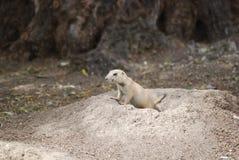 Dare una occhiata della marmotta fotografia stock libera da diritti