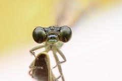 Dargonflies Obraz Royalty Free