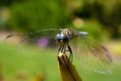 Dargonfly Stockfoto
