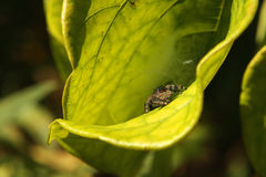 Daring Jumping Spider. Hunting On Leaf In Morning Sun Royalty Free Stock Photos