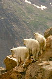 Rocky mountain goats on cliff Stock Photography