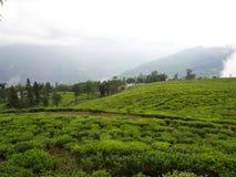 Darjeeling INDIEN, 15th APRIL 2011: Den mest berömda TEväxten Royaltyfria Bilder