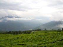 Darjeeling INDIEN, 15th APRIL 2011: Den mest berömda TEväxten Arkivfoton