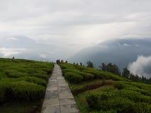 Darjeeling INDIEN, 15th APRIL 2011: Den mest berömda TEväxten fotografering för bildbyråer