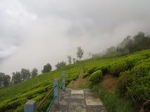 Darjeeling INDIEN, 15th APRIL 2011: Den mest berömda TEväxten Arkivbild
