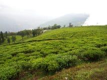 Darjeeling, la INDIA, el 15 de abril de 2011: La planta de TÉ más famosa Fotografía de archivo