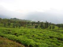 Darjeeling, la INDIA, el 15 de abril de 2011: La planta de TÉ más famosa Imagen de archivo