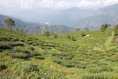 Darjeeling tea plantation, West Bengal, India Royalty Free Stock Image