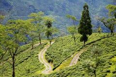 Darjeeling teträdgård Royaltyfria Bilder