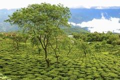 Darjeeling teträdgård Arkivbild