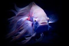 In the Dark. Oscar fish rendered in the dark. Some motion blur Stock Photo