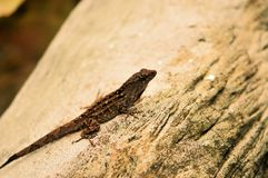 Dark anole lizard Royalty Free Stock Photos