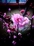 Dark apple blossom Stock Photography