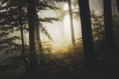 Dark autumn forest with fog and yellow trees Royalty Free Stock Images