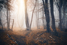 Dark autumn forest with trail in fog. Fall woods Royalty Free Stock Photography