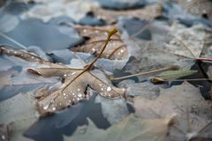 Dark autumn leafs. In the dark water. Drops and shadows Stock Photos