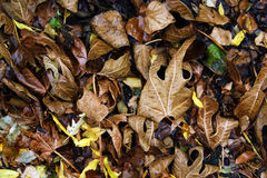 Dark autumn leaves covering the ground Stock Image
