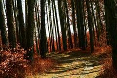 Dark autumn wilderness in a pine forest mysterious and exciting atmosphere. Dark aun wilderness in a pine forest mysterious and exciting atmosphere dark trunks stock photography