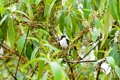 Dark-backed Sibia Bird. With green background Royalty Free Stock Photos