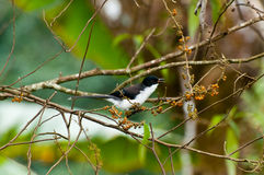 Dark-backed Sibia Bird with green background. Dark-backed Sibia Bird on twing with green background Royalty Free Stock Image