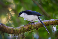 Dark-backed Sibia(Malacias melanoleucus) Stock Photos