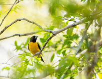Dark-backed Weaver in rainforest. A Dark-backed Weaver - Ploceus bicolor - perching on a branch at the Arabuko Sokoke Forest, last remaining coastal forest in Stock Photography