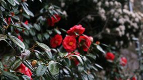 Dark background of red flowers on branches with foliage. Vegetation flora stock photos
