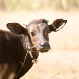 Dark Bali cow Royalty Free Stock Photos