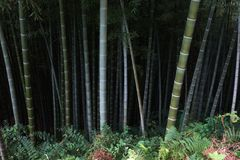 Dark bamboo forest. Bamboo grass forest is very dark dense Stock Photos