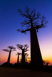 Dark Baobabs Stock Photos