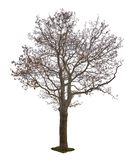 Dark bare autumn maple tree isoalted on white. Background royalty free stock photos