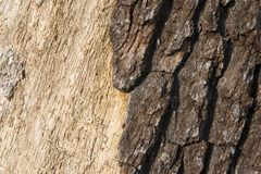 Dark Bark Light Wood. Dark tree bark peeling from the light colored wood of a tree trunk Stock Photography