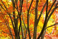 Dark Bark Thick Tree Trunk Fall Color Seasonal Leaves Forest royalty free stock image