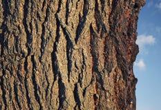 Dark bark on tree. Bark on a tree with pretty sky royalty free stock image