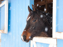 Dark bay Arabian horse looking out of a blue barn Royalty Free Stock Photos