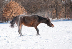 Dark bay Arabian horse shaking off snow Royalty Free Stock Images