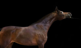 Dark bay  beautiful arabian stallion at black background Royalty Free Stock Photo