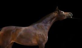 Dark bay  beautiful arabian stallion at black background Royalty Free Stock Photo