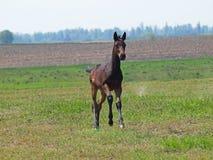 A dark -bay colt  gallops. On a green meadow Stock Photos