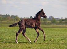 A  dark-bay foal galloping Stock Photos